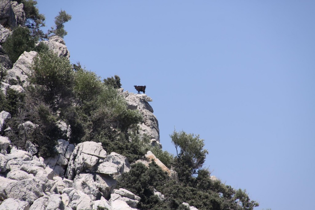Another Goat gets a Better View of Us, Obviously is must be a Mountain Goat !!