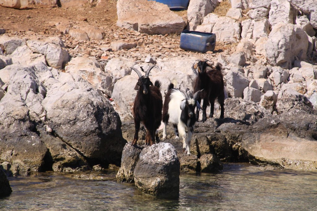 The Goats on the Island were Quite Curious to see Who were Invading their Space