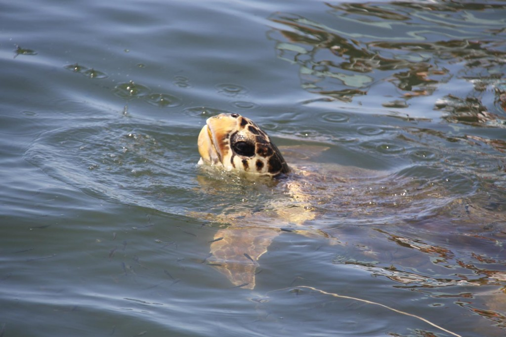 The Loggerhead Turtles are a Symbol for the Dalyan Region