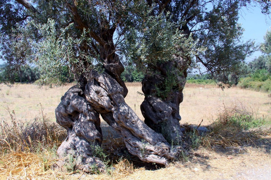Old Twisted Olive Trees are Numerous at the Ancient Teos Site