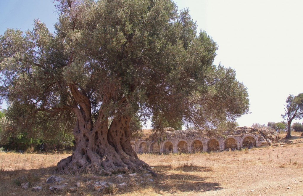 A Huge Old Olive Tree Near the Ancient Teos Cistern