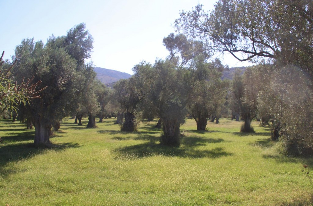 A Well Irrigated Olive Orchard
