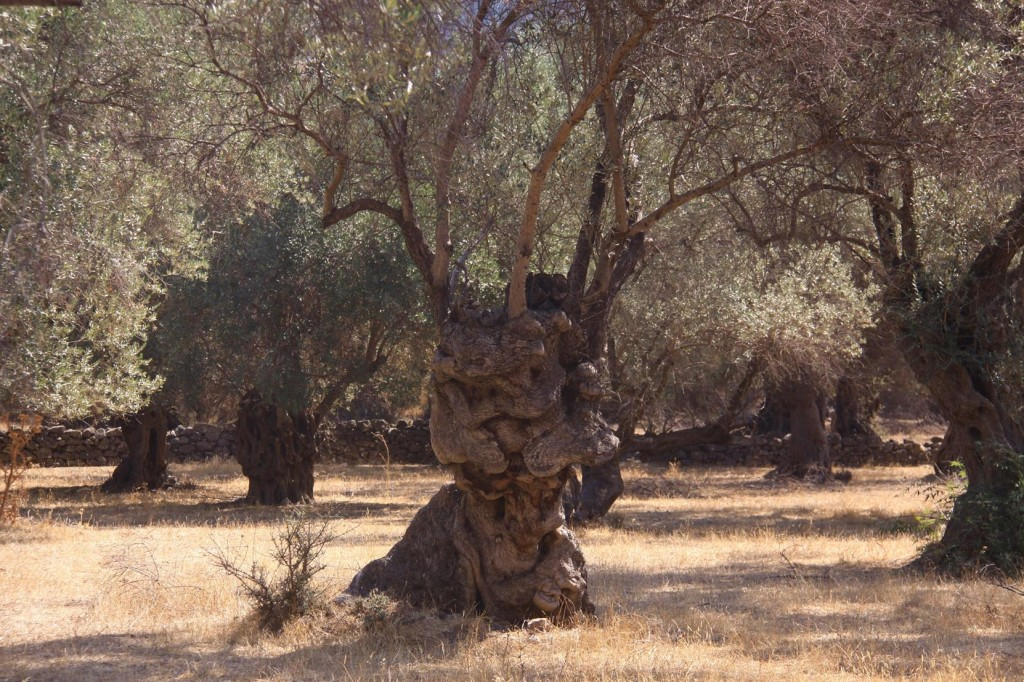Other Old Olive Trees have Survived well Over the Years Without Irrigation !!