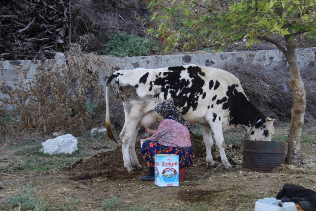We Came Across Cows Being Hand Fed