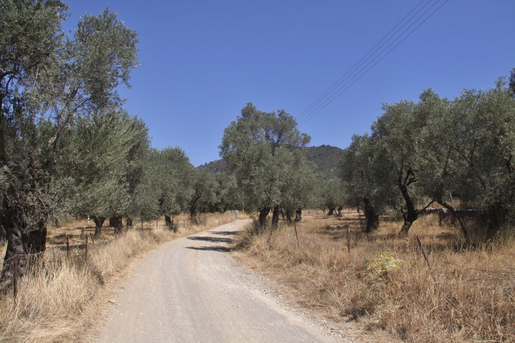 A Quicker Way Back to the Harbour is by the Road Through the Olive Trees