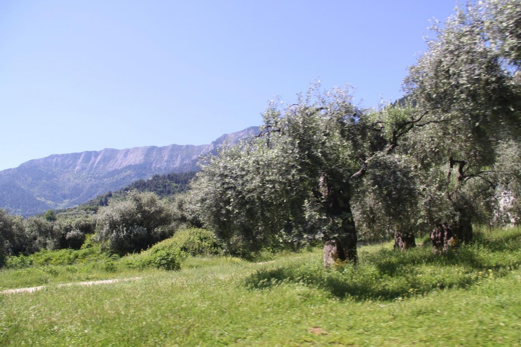 The Island has Thousands of Old Olive Trees