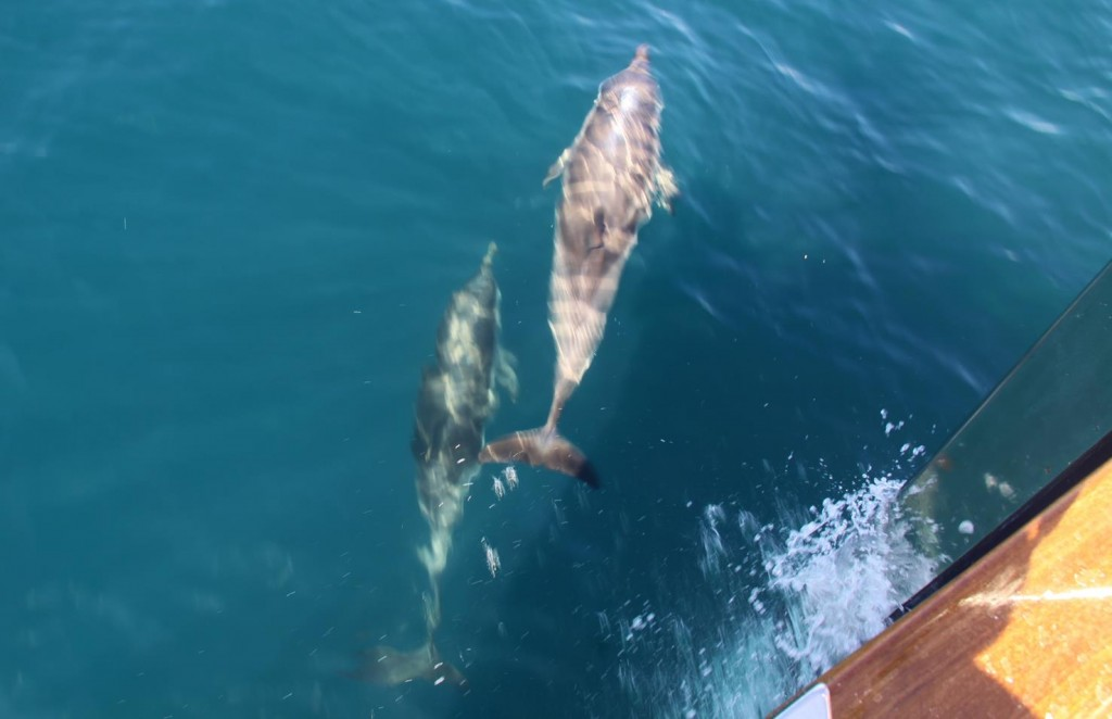 Shortly after Leaving the Port we were Accompanied by a Couple of Dolphins at our Bow for Several Miles