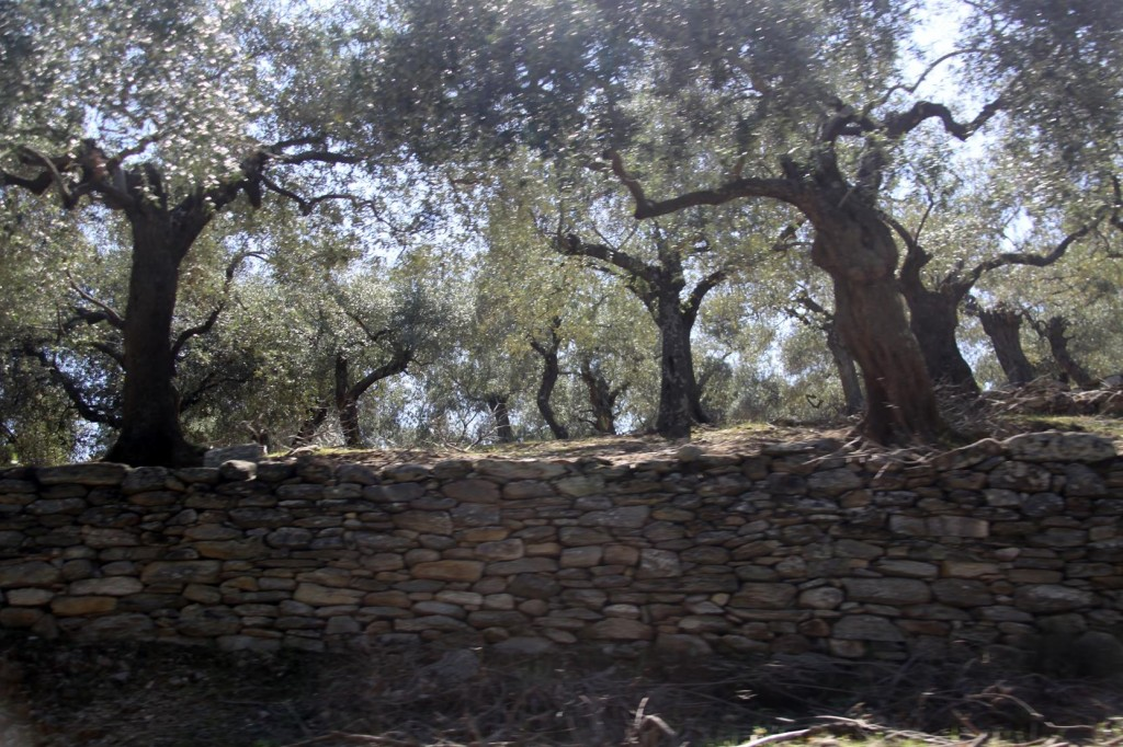 Old Dry Stone Walls with Old Dry Olive Trees