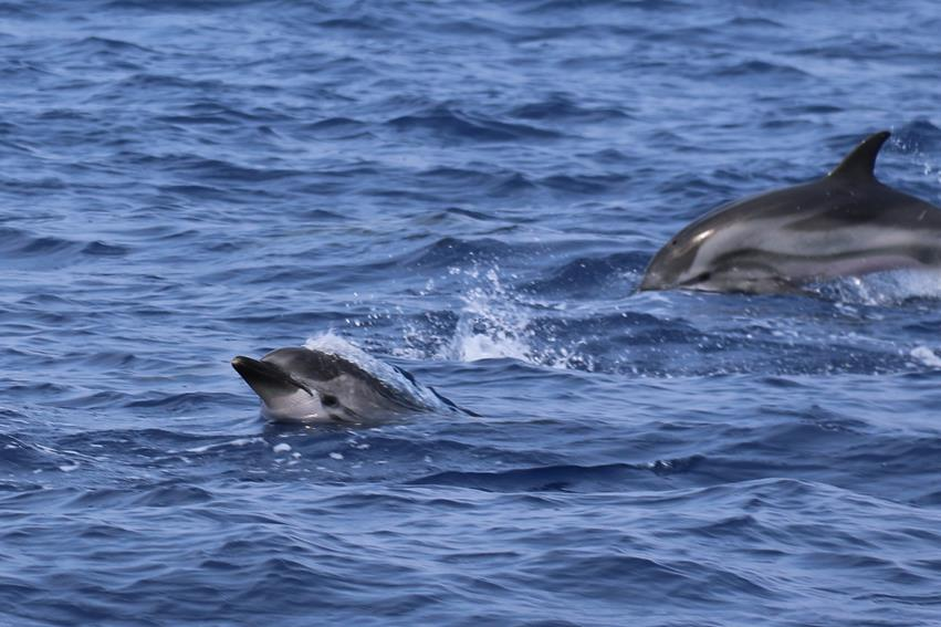 During our 2.5 hour trip from Ventotene to the Pontine Islands we had some playful visitors join us