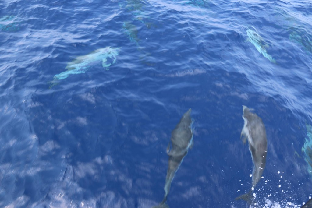 A small group of dolphins played at our bow for a few minutes as they crossed our path