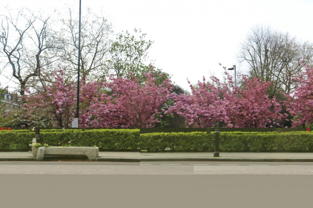 By taxi to our accommodation we pass many trees still in full blossom