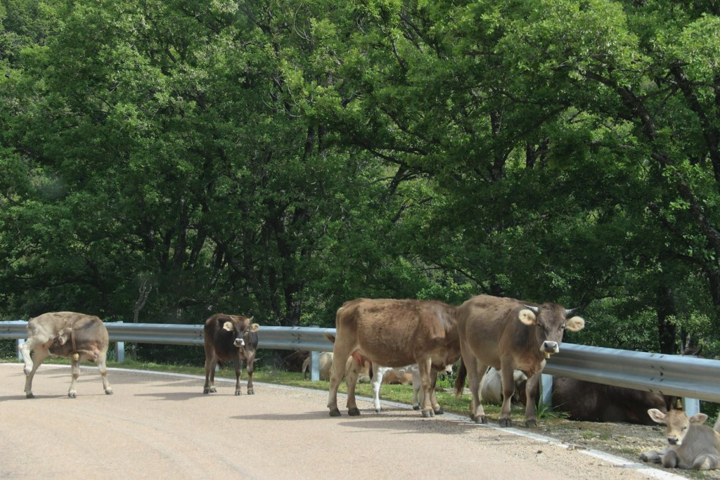 We continue along the road through the mountains and find a herd of cows on the road