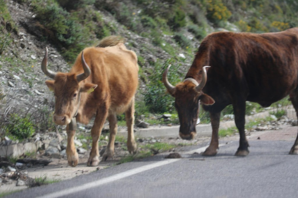 Another herd of cattle on the mountain road