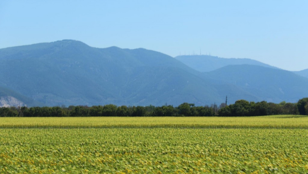 Fields and fields of sunflowers make a colourful display along the highway