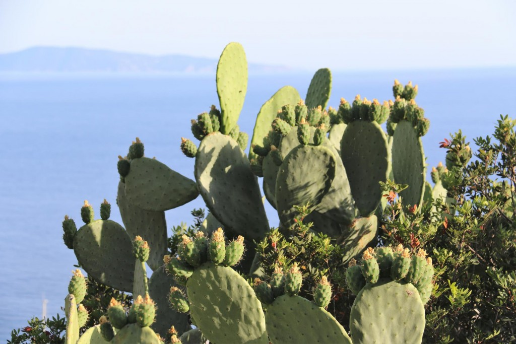 The hillside of Cargese is covered with large cactus plants