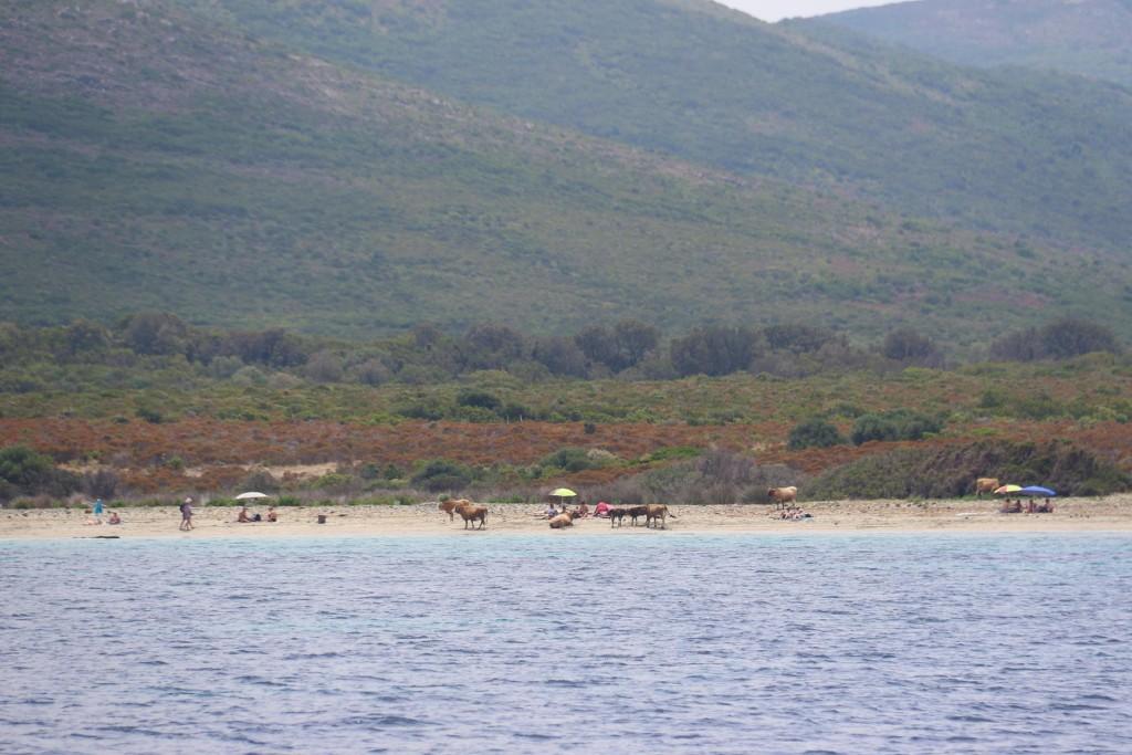 At Baie de Tamarone cows seem to be enjoying the beach as much as the regular beachgoers
