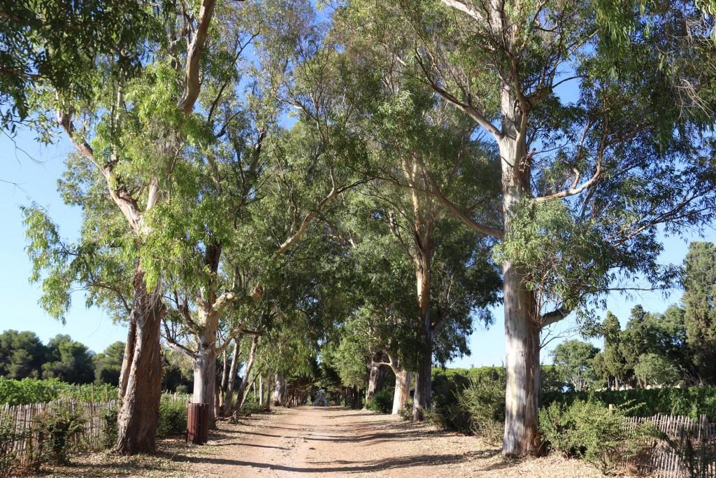 Familiar eucalyptus trees line the road at the Monastery
