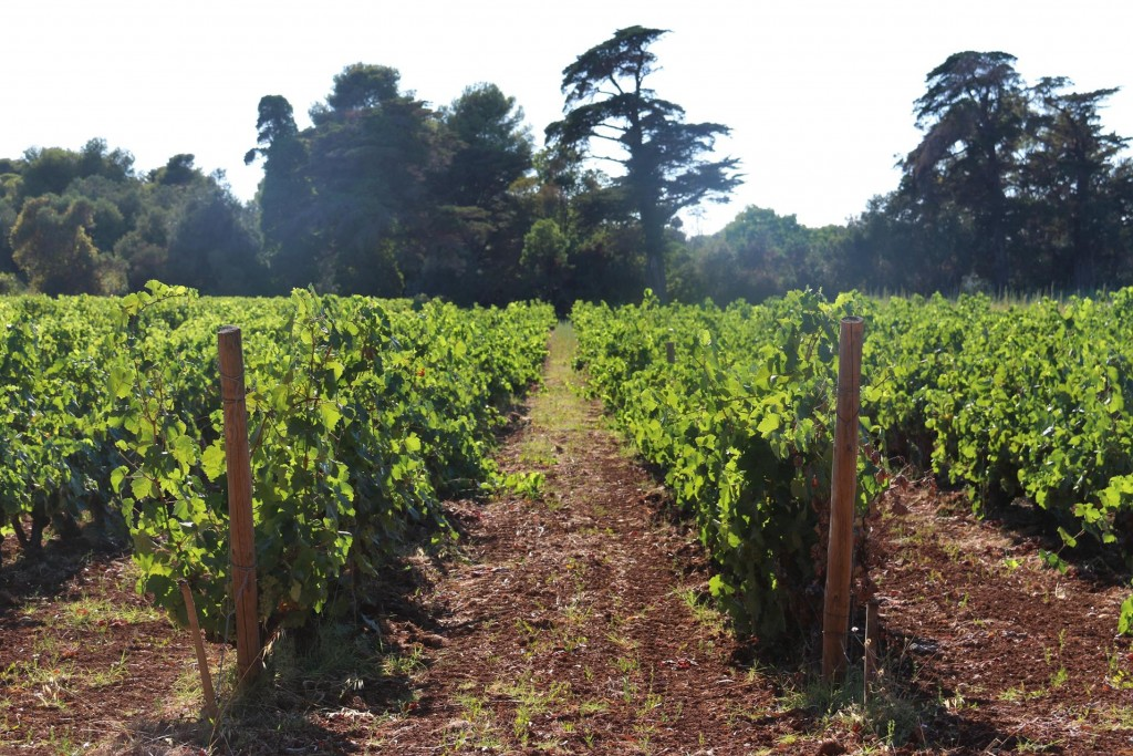 On either side of the road are the monastery's well established vineyards