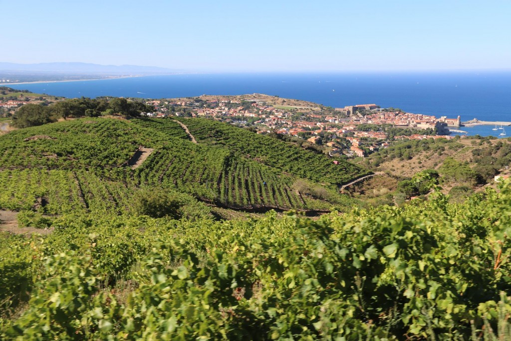 The hills behind Collioure are covered with grapevines, as this is very productive wine growing region