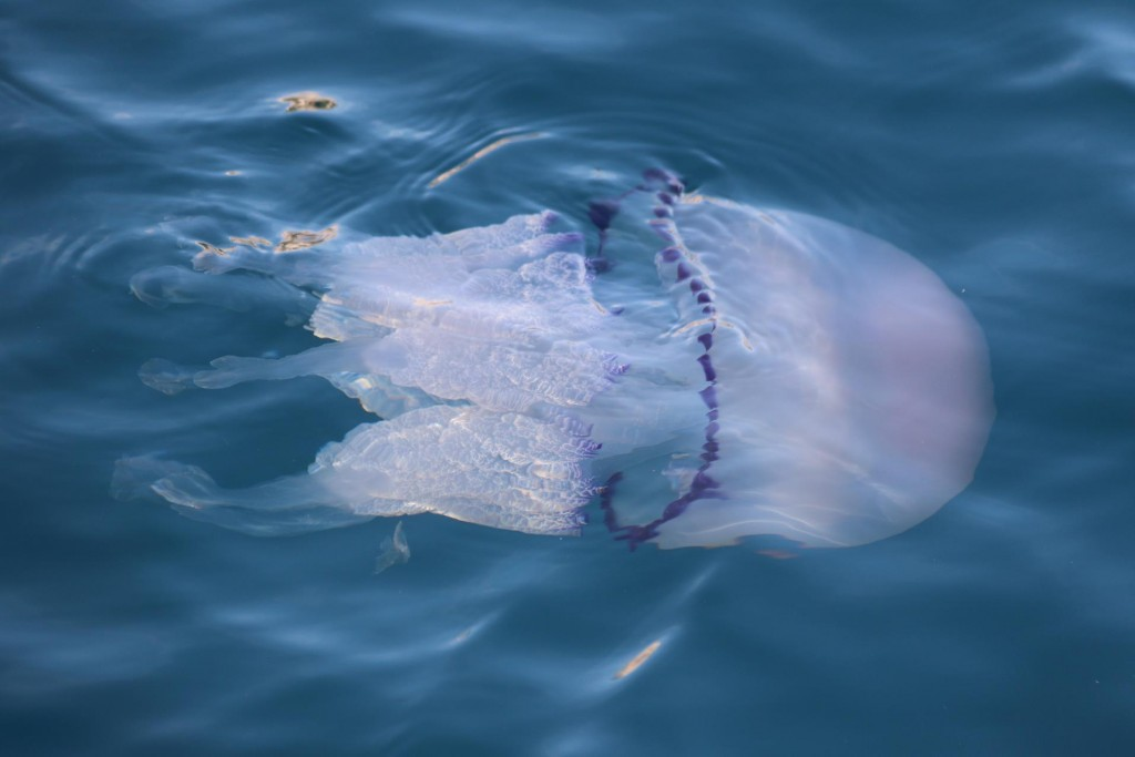 Some rather large jellyfish appear to check out the new boats in the harbour!!